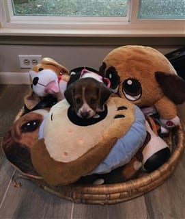 Beagle surrounded by Beagle stuffed animals