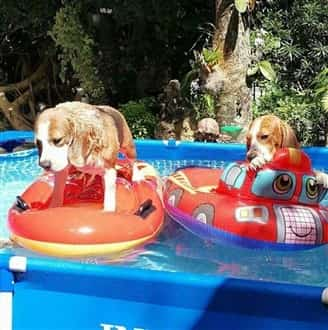 Beagles in kiddie pool in summer heat