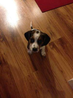 8 week old Beagle puppy named Pepper