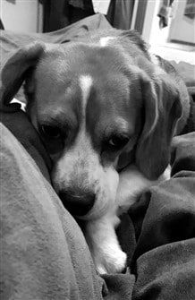 a-beagle-nestled-into-blanket