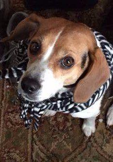 Beagle wearing scarf