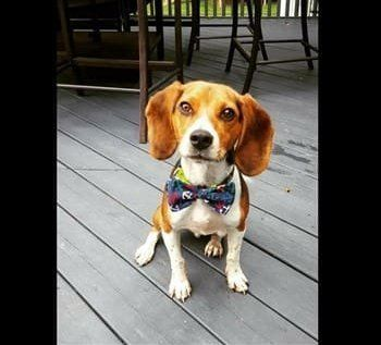 beagle-with-bow-tie