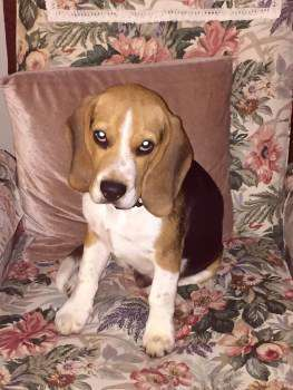 adult beagle separation anxiety