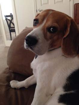 Beagle looking serious