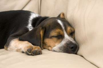 Beagle asleep on sofa