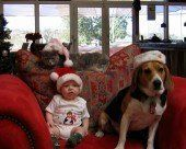 Beagle, cat and a baby