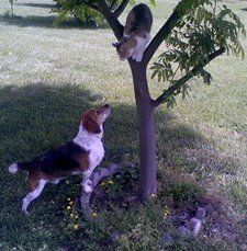 Beagle chasing cat up a tree