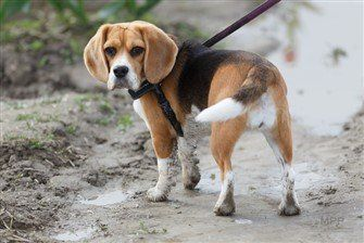 beagle-controlled-on-harness