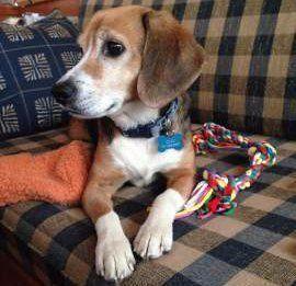 Beagle dog intelligence
