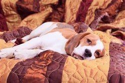 beagle-dog-male