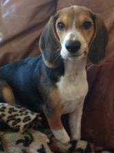 Beagle making a funny face