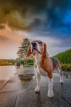 Beagle photo by Mick Adam images