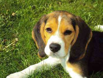 Beagle puppy on green grass