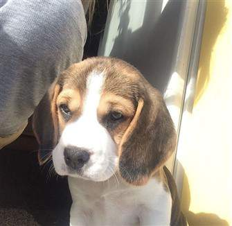 9 month old Beagle puppy
