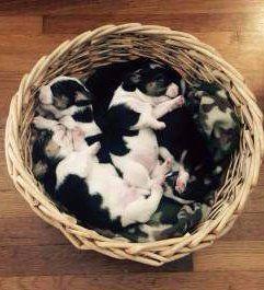 basket of Beagle puppy newborns