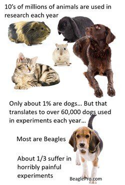 Beagle research infographic