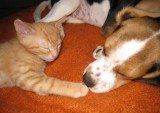 Beagle sleeping with cat