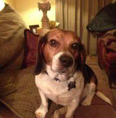 Beagle with big ears