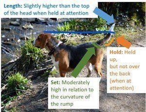 Beagle tail anatomy and length