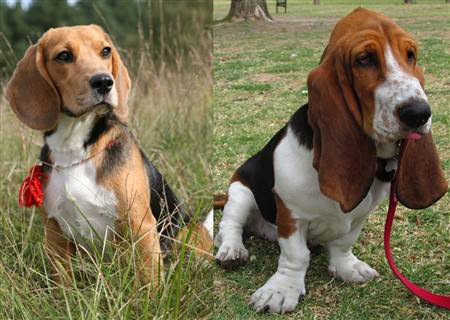 beagle-vs-basset-hound