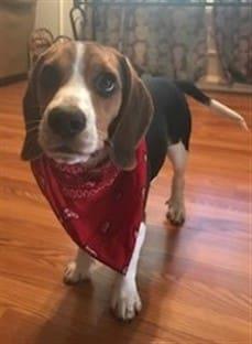 Can A Beagle Live Outside