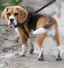 Beagle white tipped tail