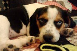 Beagle with blue eyes