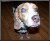 blind Beagle
