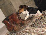 Beagle puppy next to boots