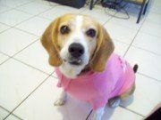 Beagle with pink shirt on