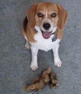 11 year old senior Beagle