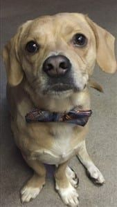 Cheagle, Beagle and Chihuahua mixed dog