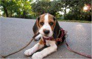cute Beagle puppy with leash in mouth