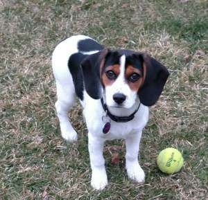 white based Beagle with black and red