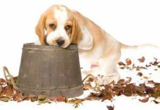 Top Spot Beagle Adorable Dog - cute-beagle-puppy22-329x227  Pictures_863159  .jpg