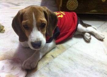 cute Beagle puppy, male, 10 months