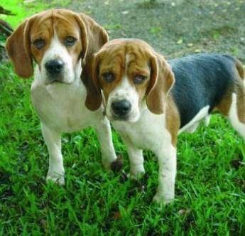 English Beagle dogs