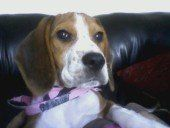 female Beagle