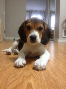 healthy Beagle puppy