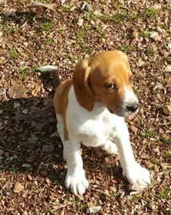 lemon Beagle outside