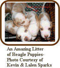 litter of Beagle pups