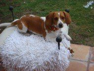 Beagle sitting on chair