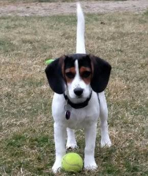Beagle with tennis ball - 4 months old