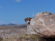 Beagle peeking out behind big rock