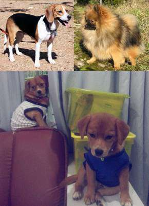 Pomeagle Beagle mix dog