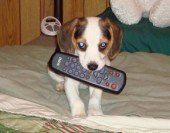 Beagle pup with remote in mouth