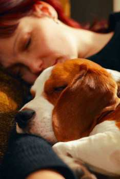 Beagle sleeping with owner