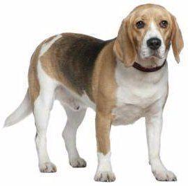 senior Beagle dog