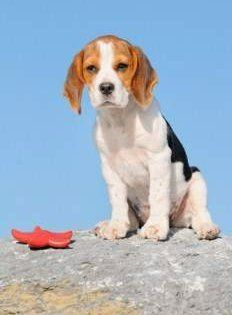 Adult Beagles For Sale