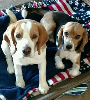 Two Beagles on flag blanket